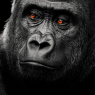 A black white shot of a lowland gorilla when its eyes / Schwarz / Weiß