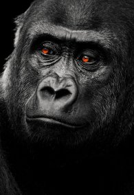 A black white shot of a lowland gorilla when its eyes are highlighted.